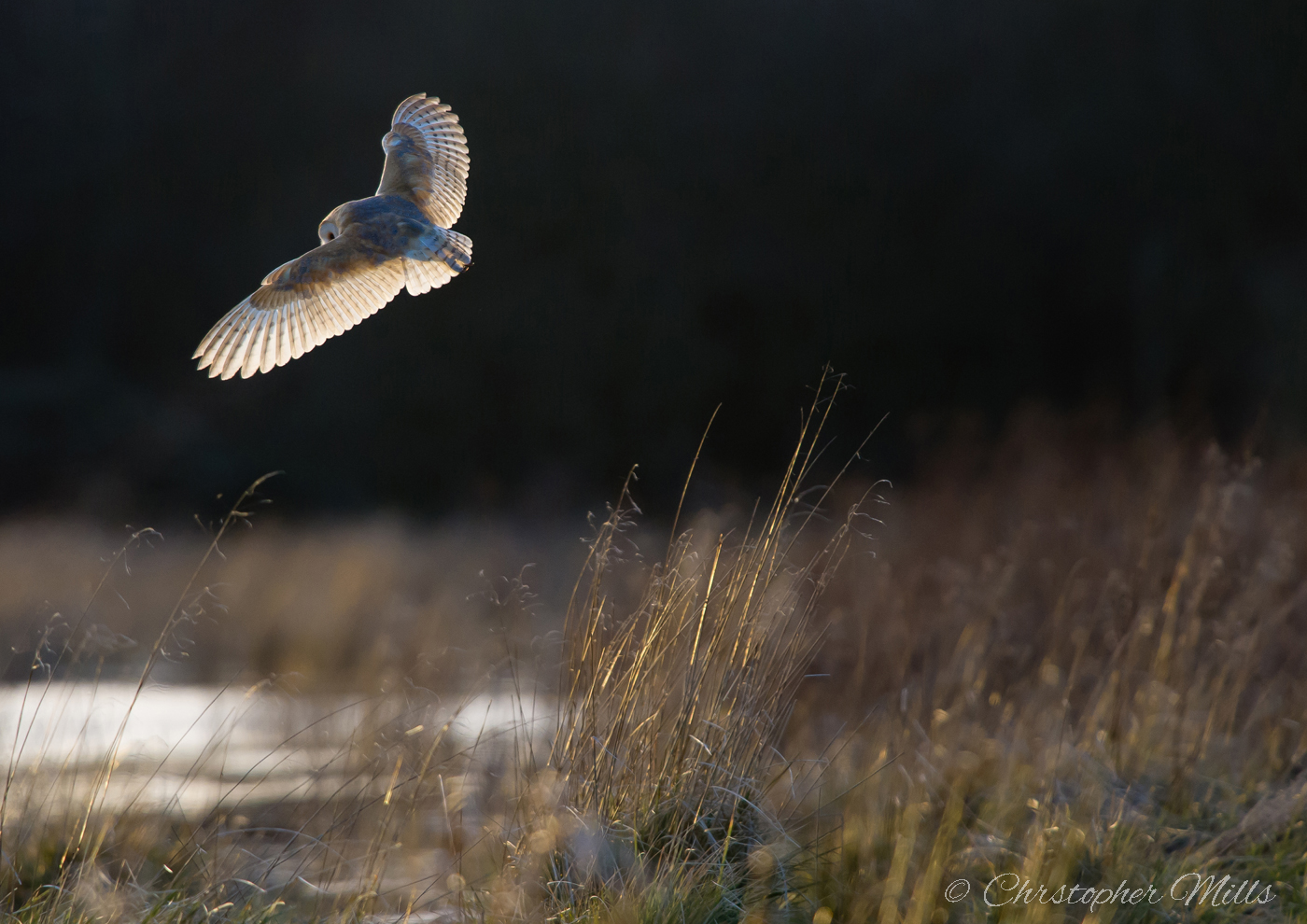 A Barn Owl hunting.
