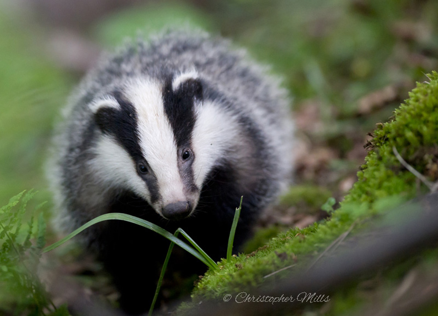 A European Badger (Meles meles) in woodland in West Sussex, England, UK.
