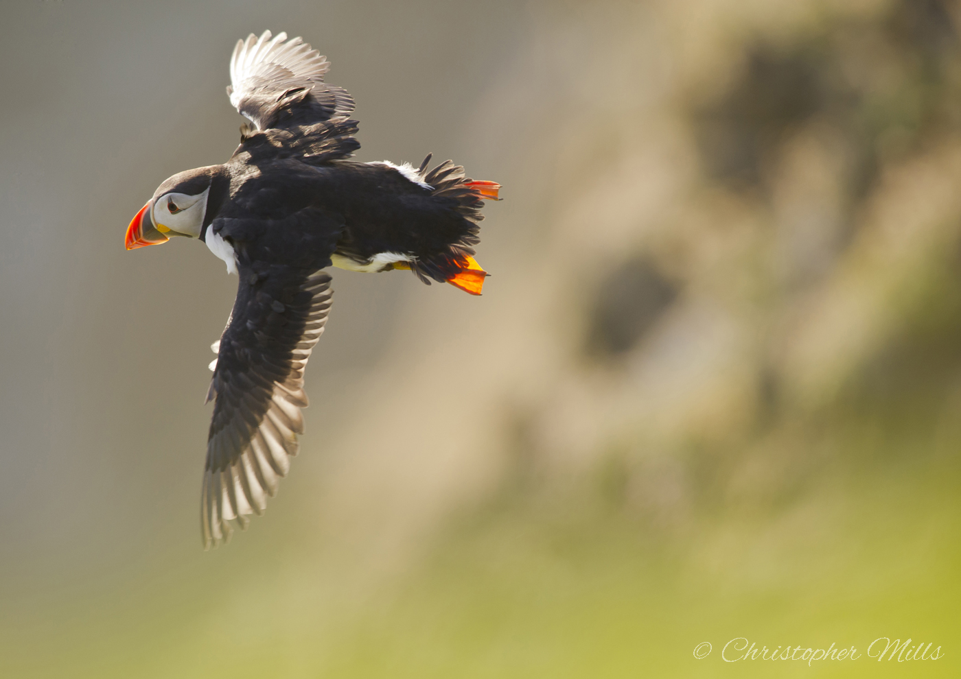 FLYING ATLANTIC PUFFIN WEB